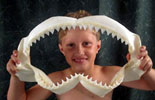 This is 7 year old Logan with his prized Bull Sharkjaw.He also has a Blacktip Reef shark jaw. He likes anything shark. His favorite is the Great White.